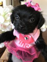 Shorkie Puppies for sale in Dallas, TX, USA. price: NA