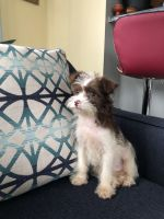 Shorkie Puppies for sale in Dumfries, VA, USA. price: NA