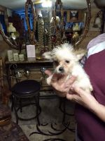 Shorkie Puppies for sale in Ashland, KY, USA. price: NA