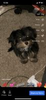 Shorkie Puppies for sale in Smyrna, GA, USA. price: NA