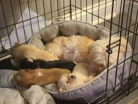 Shorkie Puppies for sale in Bardstown, KY 40004, USA. price: NA