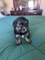 Shorkie Puppies for sale in Sacramento, CA, USA. price: NA