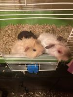Short haired Guinea Pig Rodents for sale in Washington, DC, USA. price: NA