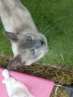 Siamese Cats for sale in Waupaca, WI 54981, USA. price: NA