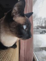 Siamese Cats for sale in Wadsworth, OH 44281, USA. price: NA