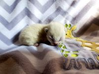 Siamese Cats for sale in Seymour, WI 54165, USA. price: NA