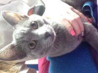 Siamese/Tabby Cats Photos