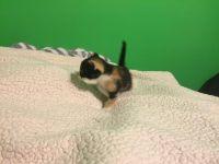 Siamese/Tabby Cats for sale in San Bernardino, CA, USA. price: NA