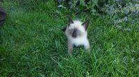Siamese/Tabby Cats for sale in New Holland, PA 17557, USA. price: NA