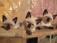 Siamese/Tabby Cats for sale in Fitchburg, MA 01420, USA. price: NA
