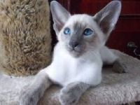 Siamese/Tabby Cats for sale in Los Angeles, CA, USA. price: NA