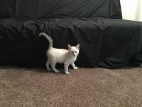 Siamese/Tabby Cats for sale in Cleveland, OH 44103, USA. price: NA