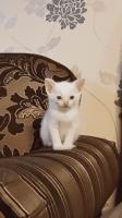 Siamese/Tabby Cats for sale in NJ-17, Paramus, NJ 07652, USA. price: NA