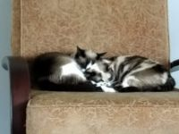 Siamese/Tabby Cats for sale in Stanford, KY 40484, USA. price: NA