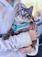 Siamese/Tabby Cats for sale in Chillicothe, MO 64601, USA. price: NA