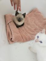 Siamese/Tabby Cats for sale in Rochester Hills, MI, USA. price: NA