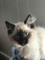Siamese/Tabby Cats for sale in Newton, NC, USA. price: NA