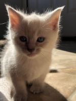 Siamese/Tabby Cats for sale in Jacksonville, NC, USA. price: NA