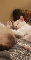 Siamese/Tabby Cats for sale in Roseville, CA 95678, USA. price: NA