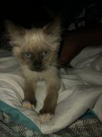 Siamese/Tabby Cats for sale in Denham Springs, LA, USA. price: NA