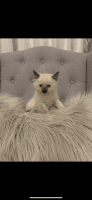 Siamese/Tabby Cats for sale in Portland, OR, USA. price: NA