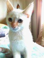 Siamese/Tabby Cats for sale in Sacramento, CA, USA. price: NA
