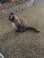 Siamese/Tabby Cats for sale in Bakersfield, CA, USA. price: NA