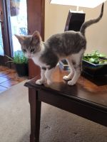 Siamese/Tabby Cats for sale in Stillwater, OK, USA. price: NA
