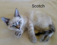 Siamese/Tabby Cats for sale in Gladwin County, MI, USA. price: NA