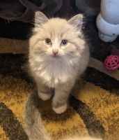 Siberian Cats for sale in Beloit, WI 53511, USA. price: NA