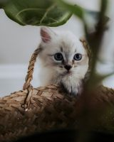 Siberian Cats for sale in Cherry Hill, NJ 08002, USA. price: NA