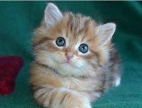 Siberian Cats for sale in Chicago, IL 60614, USA. price: NA