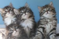 Siberian Cats for sale in Flowery Branch, GA 30542, USA. price: NA