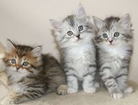 Siberian Cats for sale in Portland, OR 97229, USA. price: NA