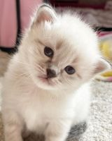 Siberian Cats for sale in Nampa, ID, USA. price: NA