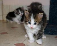Siberian Cats for sale in Chenega, AK 99574, USA. price: NA