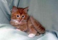 Siberian Cats for sale in Detroit, MI, USA. price: NA
