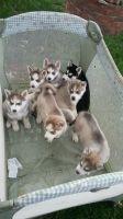 Siberian Cats for sale in Denver, CO, USA. price: NA
