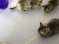 Siberian Cats for sale in Fort Wayne, IN, USA. price: NA