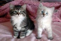 Siberian Cats for sale in Delaware City, DE, USA. price: NA
