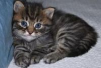Siberian Cats for sale in Bridgeville, DE 19933, USA. price: NA