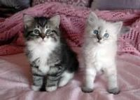 Siberian Cats for sale in Delaware, AR 72835, USA. price: NA