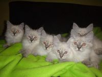 Siberian Cats for sale in Houston, TX, USA. price: NA