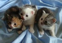 Siberian Cats for sale in Honolulu, HI, USA. price: NA