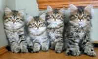 Siberian Cats for sale in Carlsbad, CA, USA. price: NA