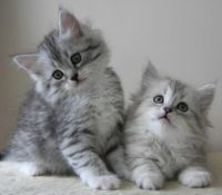 Siberian Cats for sale in Mitchellville, MD, USA. price: NA