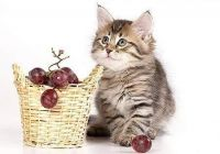 Siberian Cats for sale in Bakersfield, CA, USA. price: NA