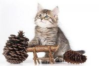 Siberian Cats for sale in Chicago, IL, USA. price: NA
