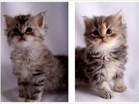 Siberian Cats for sale in Berkeley, CA, USA. price: NA