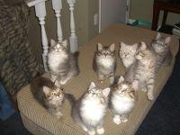 Siberian Cats for sale in Montgomery, AL, USA. price: NA